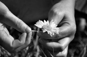 he-loves-me-he-loves-me-not-flower